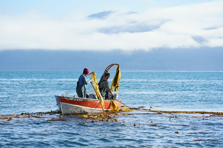 Harvesting kelp from a skiff